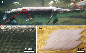 (a) Alligator gar (Atractosteus spatula), a large Mississippi basin fish&#59; (b) ganoid scales having a rhombic shape. These is very little overlap between these rigid bony scales&#59; their sides are inclined to surface plane to provide improved protection&#59; they form arrays that are at specific angle with the longitudinal fish axis (∼55°)&#59; (c) bioinspired scales fabricated with zirconia with potential application as body armour (adapted from [9, Fig. 19]).