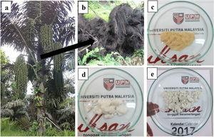 Photographs of (a) the sugar palm tree, (b) raw sugar palm fibres, (c) bleached fibres, (d) alkali-treated fibres, and (e) refined fibres.
