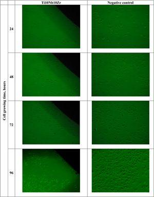 Phase-contrast micrographs of fibroblasts cultured on Ti10Nb10Zr and negative control for different times (24–96h).