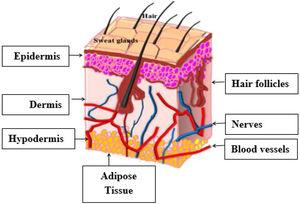 Schematic representation of skin [2].