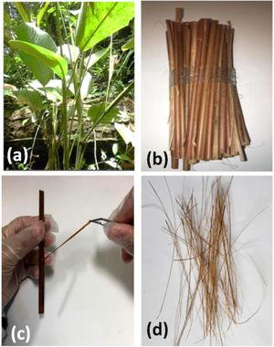 Guaruman plant (a); as-received, mechanically divided splints form the stalk (b); manual separation of fibers from the splint (c); and bunch of the final isolated fibers (d).