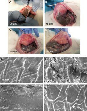 A) Resultados macroscópicos de la formación adherencial en diferentes tiempos de estudio. B) Vertiente peritoneal e integración tisular en la microscopia electrónica de barrido a los 15 y 45 días del implante. C) Sacrificio 45 días. D) Sacrificio 45 días. E), G) y H) Imágenes de microscopia de barrido de mallas explantadas en conejos sacrificados a 45 días. F) Imagen de malla explantada en conejo sacrificado a 15 días.