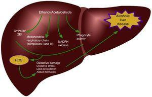 Main generating sources of ROS produced in the liver during alcohol consumption. ROS: Reactive oxygen species.