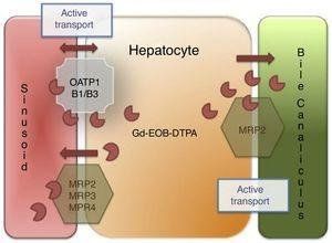 Liver-specific contrast medium action mechanism. The liver-specific agent is introduced into the hepatocyte through the organic anion transporter polypeptide (OATP1, B1/B3) and exits through the ATP-dependent multidrug-resistant proteins (MRP2, MRP3, MRP4) located in the sinusoidal membrane. MRP2 is regulated through membrane recovery (reduced bile outlet flow) or introduction (increased outlet flow), and finally, the liver-specific agent is not metabolized by the hepatocyte and is excreted, unchanged, into the bile.