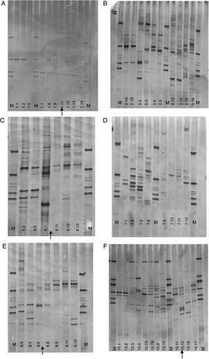 Perfis de PCR‐DGGE de crianças em aleitamento materno complementar: crianças n° 1, n° 2, n° 6, n° 7, n° 8 e n° 15. A administração de antibióticos é indicada por setas.