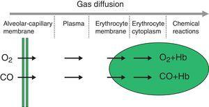 Structure of the gas exchange barrier.