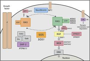 RAS-MAPK signalling cascade. After the ligand binds the cell-surface receptors, the intracellular portion of the receptor is phosphorylated and recruits adaptor proteins such as GRB2, which form complexes with guanosine exchange factors (such as SOS) that promote conformational change of the inactive protein RAS bound to GDP to the active form bound to GTP. The active RAS-GTP form then activates different isoforms of RAF (RAF1, BRAF), MEK (MEK1, MEK2) and lastly, ERK.