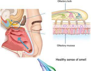 Odorant transmission through the olfactory neuroepithelium.