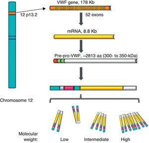 Representation of the gene, the transcription and the protein of the von Willebrand factor. The location of the von Willebrand factor gene is observed in chromosome 12, the mature mRNA and the processing of the protein, from the pre-pro-von Willebrand factor, to the formation of multimers with high molecular weight.