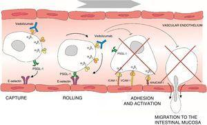 Process of lymphocyte migration from the blood vessels to the intestinal mucosa and mechanism of action of vedolizumab. ICAM-1, intercellular adhesion molecule 1; MAdCAM-1, mucosal vascular addressin cell adhesion molecule 1; PSGL-1, P-selectin glycoprotein ligand 1; VCAM-1, vascular cell adhesion molecule 1.