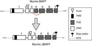 Murine BAFF gene. Exons are represented in boxes; introns in thick gray lines. THD, TNF homology domain; CRD, cysteine-rich domain; TMD, transmembrane domain; NTR: 5′ and 3′ non-translated regions.