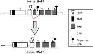 Delta BAFF variant in the human. Exons are represented in boxes; introns in thick gray lines. THD, TNF homology domain; CRD, cysteine-rich domain; TMD, transmembrane domain; NTR, 5′ and 3′ non-translated regions.