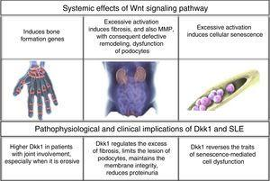 Systemic effects of Wnt signaling pathway and its inhibitor Dkk1.