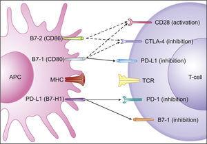 Co-stimulatory and inhibitory signals for T-cells. PD-L1 mediated inhibition of T-cells occurs via ligation to PD-1 and B7-1 on T-cells (full arrows) and through reverse signaling inhibition via ligation to B7-1 on APCs (full arrow). Also depicted are co-stimulatory and inhibitory signals mediated by CD28 and CTLA-4 on T-cells, respectively, through ligation to both B7-1 and B7-2 on APCs (dashed arrows). Adapted from: Keir et al.14.
