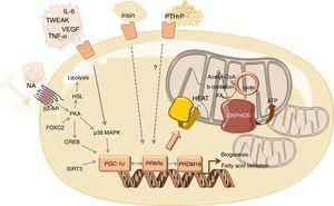 Overview of the mediators and signalling pathways underlying WAT browning in cancer cachexia. Abbreviations: AR, adrenergic receptor; CREB, cAMP response element-binding protein; FA, fatty acid; FOXC2, forkhead box protein C2; HSL, hormone sensitive lipase; IL, interleukin; MAPK, mitogen activated kinase; NA, noradrenaline; OXPHOS, oxidative phosphorylation; PGC-1α, peroxisome proliferator-activated receptor gamma coactivator 1-alpha; PKA, protein kinase A; PPAR, peroxisome proliferator-activated receptor; PRDM16, PR- (PRD1-BF-1-RIZ1 homologous) domain containing protein 16; PTHrP, parathyroid-hormone related protein; TCA, tricarboxylic acid; TNF-α, tumour necrosis factor alpha; TWEAK, tumour necrosis factor-like weak inducer of apoptosis; UCP1, uncoupling protein 1; VEGF, vascular endothelial growth factor.