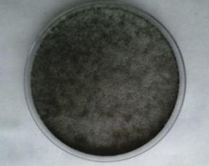 N. dimidiatum colony in Potato Dextrose agar.