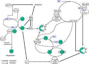 Model of the biological interactions of HR-HPV E6 and E7 proteins.