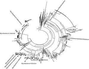 Maximum-likelihood tree (GTR plus I plus G; aLRT>90%) Mycobacterium rpoβ partial gene 495 nucleotides.