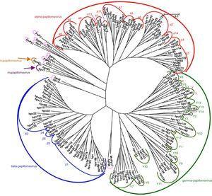 Papillomavirus phylogenetic tree based on the L1 region (adapted from De Villiers5).