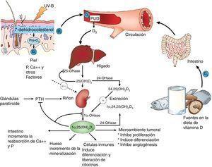 Sitios de acción de la vitamina D. Nótese efectos extraóseos. ©Modificada de Hossein-nezhad y Holick99.