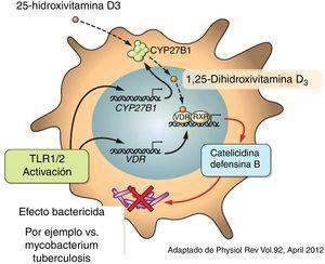 La vitamina D estimula la producción de catelicidinas y defensina B.