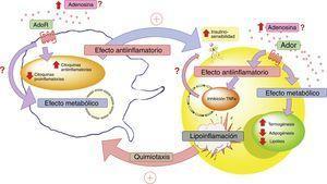 Adenosina e interacción entre adipocito y macrófago. En estados patológicos como la lipoinflamación se desencadenaría una hipoxia a nivel del mismo tejido adiposo, lo que llevaría a un aumento de los niveles circulantes de adenosina; así como también, a la producción de factores quimiotácticos para macrófagos por parte de este tejido. El aumento de adenosina activaría receptores de membrana (AdoR) asociados a proteína G, los cuáles disminuirían la producción de citoquinas proinflamatorias y estimularían la producción de citoquinas antiinflamatorias tanto en el adipocito como en los macrófagos. Estas últimas citoquinas favorecerían el actuar de los receptores de insulina en el tejido adiposo, aumentando su sensibilidad y favoreciendo la respuesta metabólica del mismo. En este contexto, la activación de los receptores de adenosina en el tejido adiposo tendría un efecto metabólico aumentando la termogénesis y disminuyendo la adipogénesis y lipólisis. Lo cual se complementaría con el rol antiinflamatorio de los receptores de adenosina. Todo esto para generar un estado compensatorio que tendería a mejorar el estado metabólico y de lipoinflamación del individuo con obesidad. AdoR: receptores de adenosina.