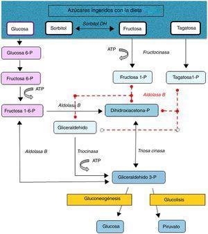 Metabolismo de la fructosa, sorbitol, tagatosa y glucosa en el hígado. Las líneas rojas discontinuas indican el defecto enzimático.