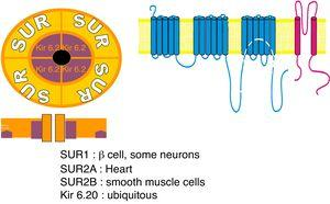 Sulfonylurea receptor (SUR) components: 1 – SUR encoded by ABCC8 gene; 2 – potassium voltage-gated channel; Kir 6.20 – encoded by subfamily J member 11 (KCNJ11) gene.