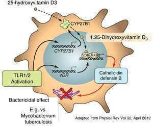 Vitamin D stimulates the production of cathelicidins and defensin B.
