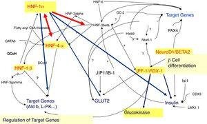 β-Cell transcription factor network.