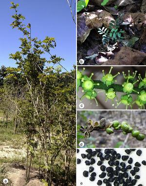 Growth and reproduction stages of Pilocarpus microphyllus plants. (a) Mature plant reaching approximately 2.5m height; (b) seedling growing in the forest understory; (c) flowers; (d) immature and mature fruits and; (e) seeds collected after fruit dehiscence.