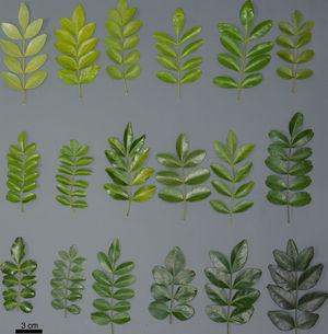 Morphological variations in Pilocarpus microphyllus leaves. Leaf samples were collected from plants growing under the same environmental conditions, in a germplasm bank at Embrapa (Brazilian Agricultural Research Corporation) Belem, PA, Brazil.