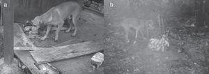 Photos of a free-ranging dog in a household (a) and in a cabruca (b).
