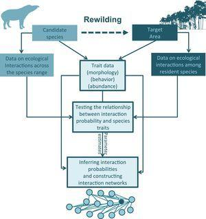 An outline for building ecological networks to inform rewilding programs. Data on the traits and interaction patterns of the candidate species can be used to test the relationship between specific traits and the probability of interactions with other species. Similar tests can be performed using data on the traits and interactions among the species occurring in the target area. The estimated parameters and trait data can then be used to compute interaction probabilities and build ecological networks simulating the rewilding scenario. The position of the introduced species in the network (as highlighted by the node with a different color in the model network) can then be inferred and network structure can be examined.