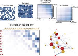 Building a probabilistic network. Each hypothetical matrix contains information on the probability of pairwise interactions between predator (rows, labeled P#) and prey (columns, labeled p#) species. Darker colors depict higher probabilities. Species are ordered according to decreasing body size from top to bottom and left to right. Interaction probabilities can be estimated according to different variables: co-occurrence, behavioral or natural history information known to affect interactions, trait matching (body–mass ratio is depicted in the example), and relative abundances. Overall interaction probabilities can be obtained from the element-wise product of the probabilities computed according to each variable and a probabilistic network or and ensemble of theoretical networks based on probabilities may be built and analyzed.
