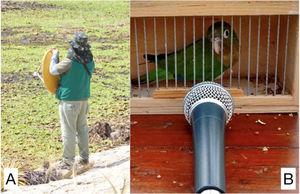 Recording setups used for Cactus Conure (Eupsittula cactorum) sound recordings. Recordings of wild individuals were made using a parabolic dish (A)&#59; captive individuals were recorded at close range with the same cardioid microphon (B).