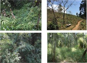 Examples of Brazilian superdominant species: (a) Gleichenella pectinata, in Fontes do Ipiranga State Park, São Paulo State&#59; (b) Pteridium arachnoideum, in Gonçalves, Minas Gerais State&#59; (c) Chusquea capituliflora, in Fontes do Ipiranga State Park, São Paulo State&#59; (d) Aulonemia aristulata, in Fontes do Ipiranga State Park, São Paulo State. (Photos authorship: a, c, d – Maria Tereza Grombone Guaratini&#59; b – Jean Paul Metzger.)