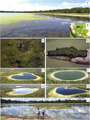 (A) A soda lake of the lower Nhecolândia landscape with brownish microbial mats (C, D) and greenish exopolysaccharide (EPS) (B). Bacterial mats (C, D) of cyanobacteria are usually associated with other extremophile microbial life such as SRP and methanotrophs or methanogens. (E–I) Photographs of soda lakes and mata de cordilheiras in the Lower Nhecolândia, with different degrees of cyanobacteria blooms. See text for details.