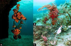 Examples of impacts of ALDFG on benthic organisms. (A) Tubastrea spp., an invasive coral species in the Atlantic Ocean, trapped in a ghost net in Búzios Island, SP (Photo: Daniel Pohl). (B) Fishing line coiled around an octocoral (Leptogorgia punicea). (C) Calcareous algae growing on a piece of ghost net, Arvoredo Marine Biological Reserve, SC (Photos: Jessica Link).