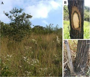 Vegetation structure and functional traits of the dominant tree species in areas affected by fire in the Brazilian Atlantic forest. (A) Site with high fire frequency showing high C4 grass cover and low leaf area index; (B) A stem of M. polymorphum – Asteraceae with its thick bark. This photograph was taken one year after the last fire event. (C) Resprouting of the most abundant tree species in burned areas – Moquiniastrum polymorphum (Less.) G. Sancho – Asteraceae.