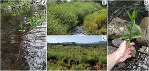 A: Salix × rubens branches develop roots when in contact with water. Combined with the brittleness of branches, this characteristic can increase dispersal, establishment and invasion. B: High abundance of S. × rubens along the margins of the Pericó river. C: Pure stand of S. × rubens on the Bonito river floodplain. D: A seedling of S. × rubens growing in a watercourse. Images by the authors.