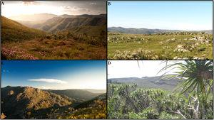 Landscape and vegetation typical of the Campo Rupestre. (A) Wide shot of the Campo Rupestre highlands showing mixed woody and herbaceous communities on a rocky habitat. (B) Vast grasslands with rock outcrops dominated by flowering Actinocephalus bongardii. (C) Quartzitic gravel soil habitat immersed in a matrix of sandy and rocky grasslands. (D) Among rock outcrops, some larger species develop such as Vellozia gigantea. Photos by A. Gomes (A, C) and G.W. Fernandes (B, D).