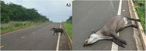 (a) Lowland tapir crossing Highway MS-040, and (b) Tapir roadkill on the same highway. Source: Laurie Hedges, INCAB-IPÊ.