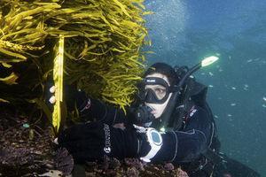 Juvenile crayweed being measured (John Turnbull).