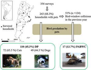 Conceptual scheme showing the two ways birds were preyed on in the households surveyed: Direct predation (DP) and predation of a live bird following window collision (PABWC). Photos: Roberto Gonzalez and Natalia Rebolo.