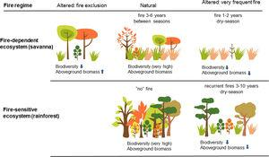 Comparison of fire regimes under natural (lightning) and anthropogenic drivers in both fire-dependent (e.g., savanna) and fire-sensitive (e.g., rainforest) Brazilian ecosystems. In the savannas, periodical mild lightning fires every 3–6 years maintain biodiversity and ecological processes; anthropogenic burnings increase fire frequency and change the fire season. Very frequent or intense fires kill young trees and reduce aboveground biomass; fire exclusion instead may lead to tree encroachment, and in both cases biodiversity is reduced and ecosystem processes are altered. In the rainforests, natural fires are almost absent, but recurrent fires resultant from human activities (accidental or criminal fires) open up and degrade the forest. Great amounts of gases are emitted to the atmosphere, vegetation is impoverished and the forest becomes vulnerable to recurrent wildfires. (Data from: Pivello and Coutinho, 1992; 1996; Ramos-Neto and Pivello, 2000; Alencar et al., 2004; Barlow and Peres, 2008; Pivello, 2011; Pereira-Junior et al., 2014).
