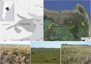"""At the top, location of the study area within the area of the Flooding Pampas, Argentina; yellow asterisks represent the fields surveyed. Source: 2020 Google Earth, Cnes/Spot Images. At the bottom, images of the three treatments within the Flooding Pampas of Argentina where birds and vegetation were sampled: ''Ryegrass promotion"""" (left), ''Rotational grazing (middle); ''Continuous grazing'' (right)."""