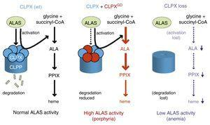 A model for how ClpXP regulates ALAS function and heme production. Under normal conditions (left), ClpX unfoldase activity is needed for PLP insertion and activation of ALAS proteins. ClpP mediated degradation constitutes negative feedback regulation in response to high heme levels.27 In EPP patients with the heterozygous G298D ClpX dominant negative mutation, active ALAS2 is unable to be shuttled to ClpP for degradation, resulting in excess production of intermediates (middle).27 In contrast, the complete absence of ClpX not only reduces degradation but also fails to activate ALAS. This causes a profound loss of heme production and anemia (right).26 Reprinted with permission from and Yien et al. and Proceedings of the National Academy of Sciences (PNAS).