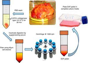 Isolation of mesenchymal stem cells from adipose tissue. Schematic representation of enzymatic digestion of adipose tissue using collagenase type I. Isolation and expansion of the mesenchymal stem cells population from the stromal vascular fraction.