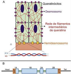 (A) Representação esquemática da rede de filamentos intermediários de queratina. Os filamentos de queratina se conectam aos hemidesmossomos para garantir a ligação à membrana basal subjacente e aos desmossomos a fim de assegurar o contato célula‐célula nos queratinócitos. Uma representação da configuração molecular do heterodímero K5/K14, a menor subunidade que forma os filamentos intermediários, é mostrada na parte debaixo da figura. (B) Organização dos domínios das queratinas. As queratinas apresentam um domínio central rod em α‐hélice que contém quatro segmentos (1A‐B, 2A‐B), os quais são interrompidos por três domínios de ligação (L1, L12 e L2). O domínio rod tem, em suas extremidades, motivos altamente conservados (HIP e HTP), frequentemente associados aos casos mais graves de EBS grave. Variantes nos domínios de ligação estão geralmente associadas à EBS localizada, enquanto na forma intermediária da doença as variantes envolvidas tendem a estar distribuídas pelos segmentos do domínio rod.